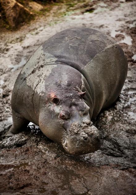 hippo2-1